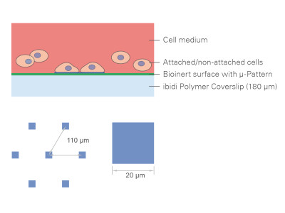 µ-Slides With Single-Cell µ-Pattern