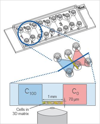 µ-Slide Chemotaxis: Principle