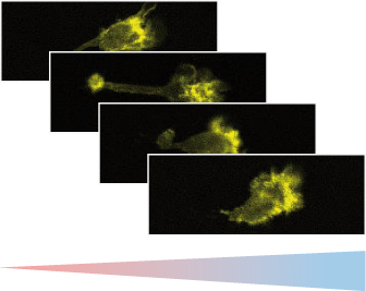 Fluorescence microscopy of murine chemotactic dendritic cells